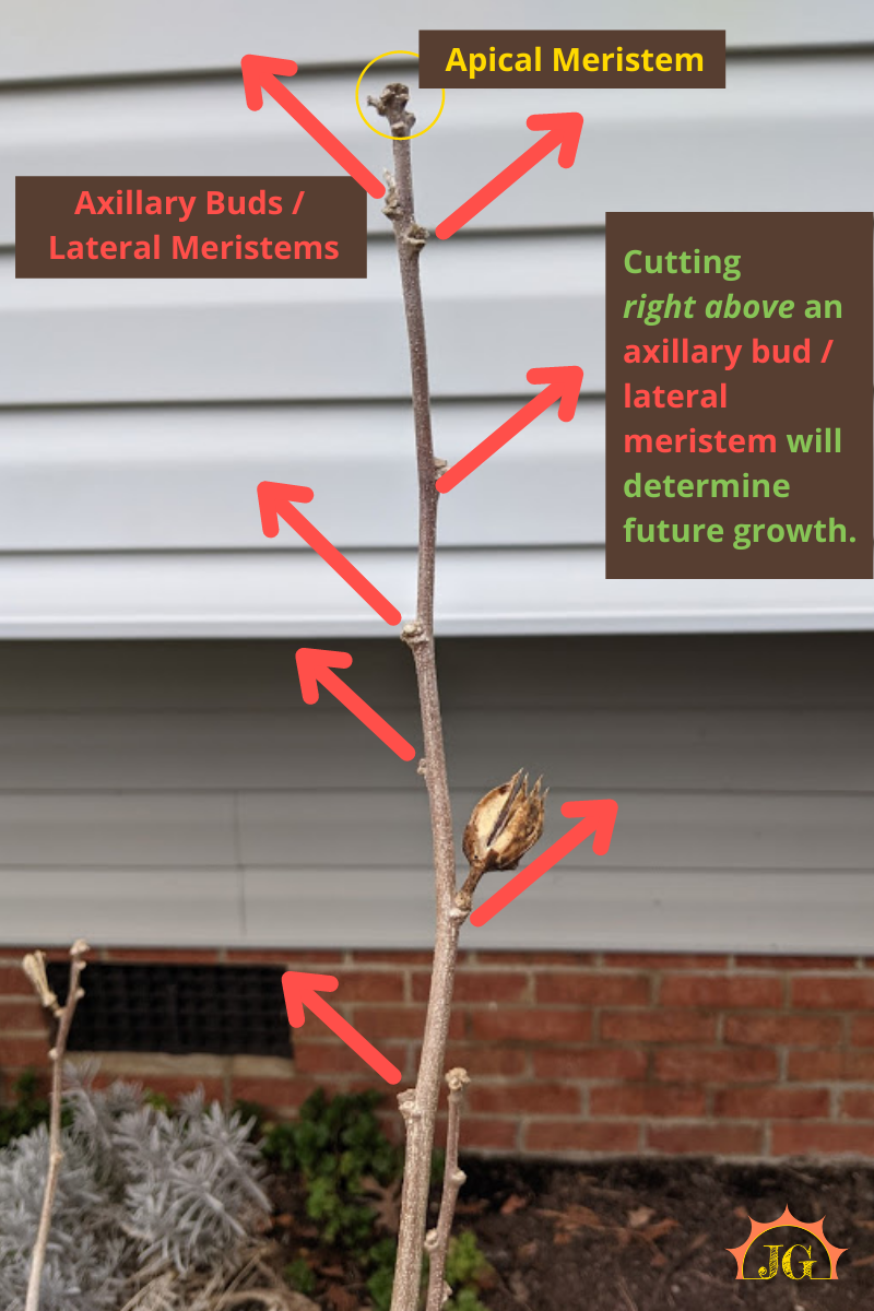 Apical meristem is at the top of the limb, lateral meristems/buds are on the sides of the limb. Each bud shows the direction a new limb could grow if the top of the limb were pruned.