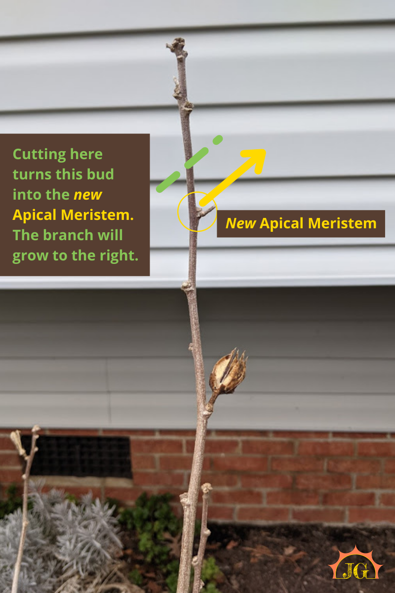 Cutting above a lateral meristem/bud will turn that bud into the new apical meristem and the limb will grow in the direction of that bud.