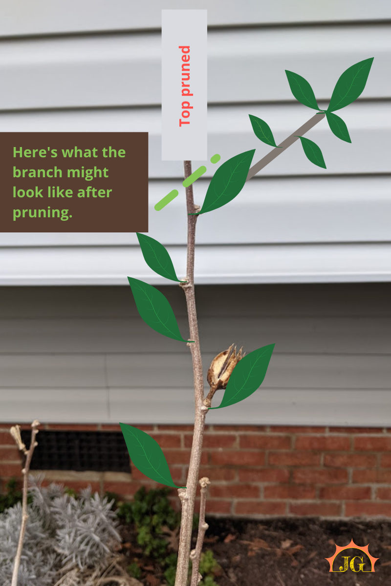 Here's what the new limb would look like if pruned (new growth going in the direction of the new bud with foliage at each lateral meristem/axillary bud.