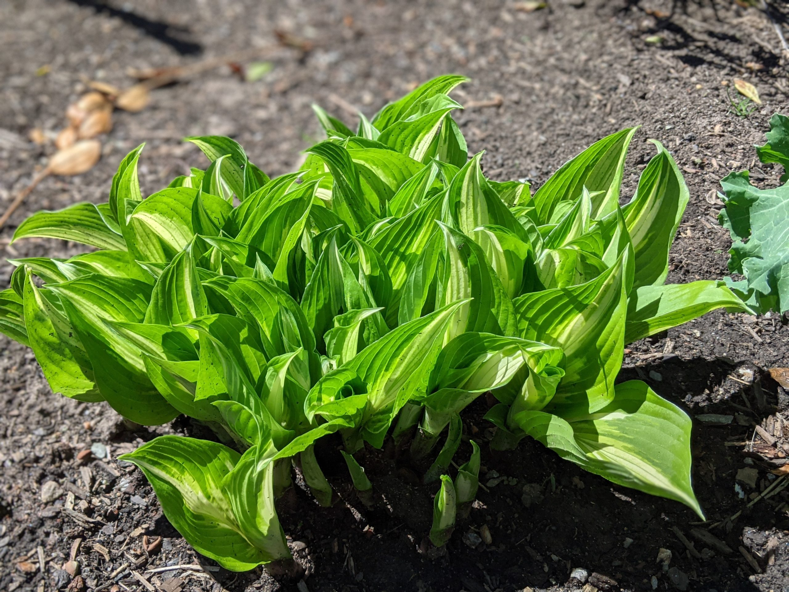 Hostas are also great for the shade. We have several varieties and love watching them unfurl like little scrolls as they emerge in the spring.
