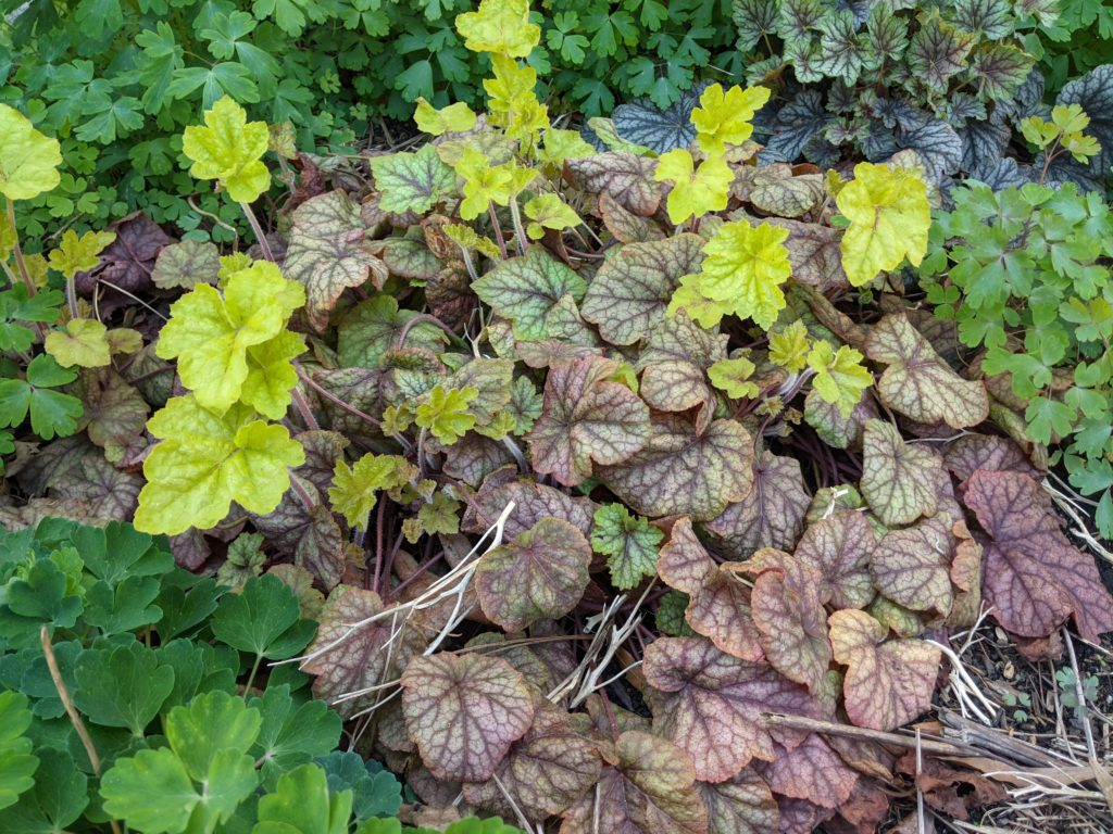 Coral Bells (heuchera) is a great perennial for shady spots. I love the foliage year- round! You can see the old purple foliage from last year as the new, lime green growth comes in for this year.