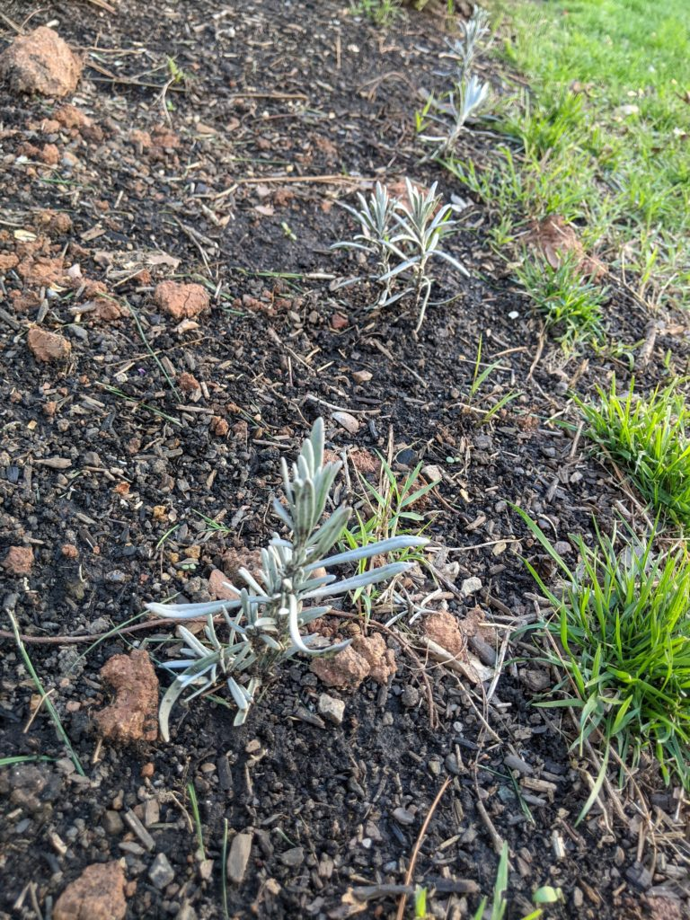 Another experiment. I pruned our lavender plant and am experimenting to see if the cuttings propagate into new plants. If they do, I'll have a nice-looking lavender hedge as my garden bed edge. If not, no harm done!