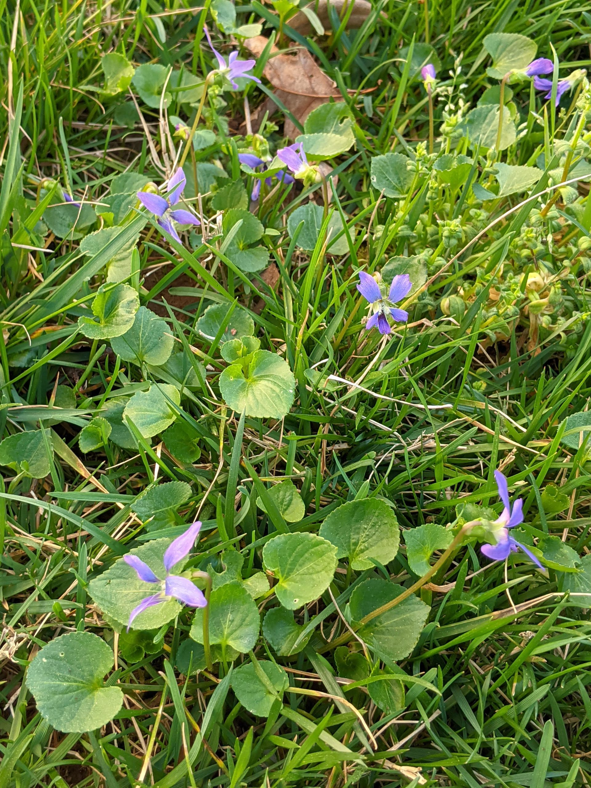 """These wild violet """"weeds"""" in the lawn are so beautiful to me."""