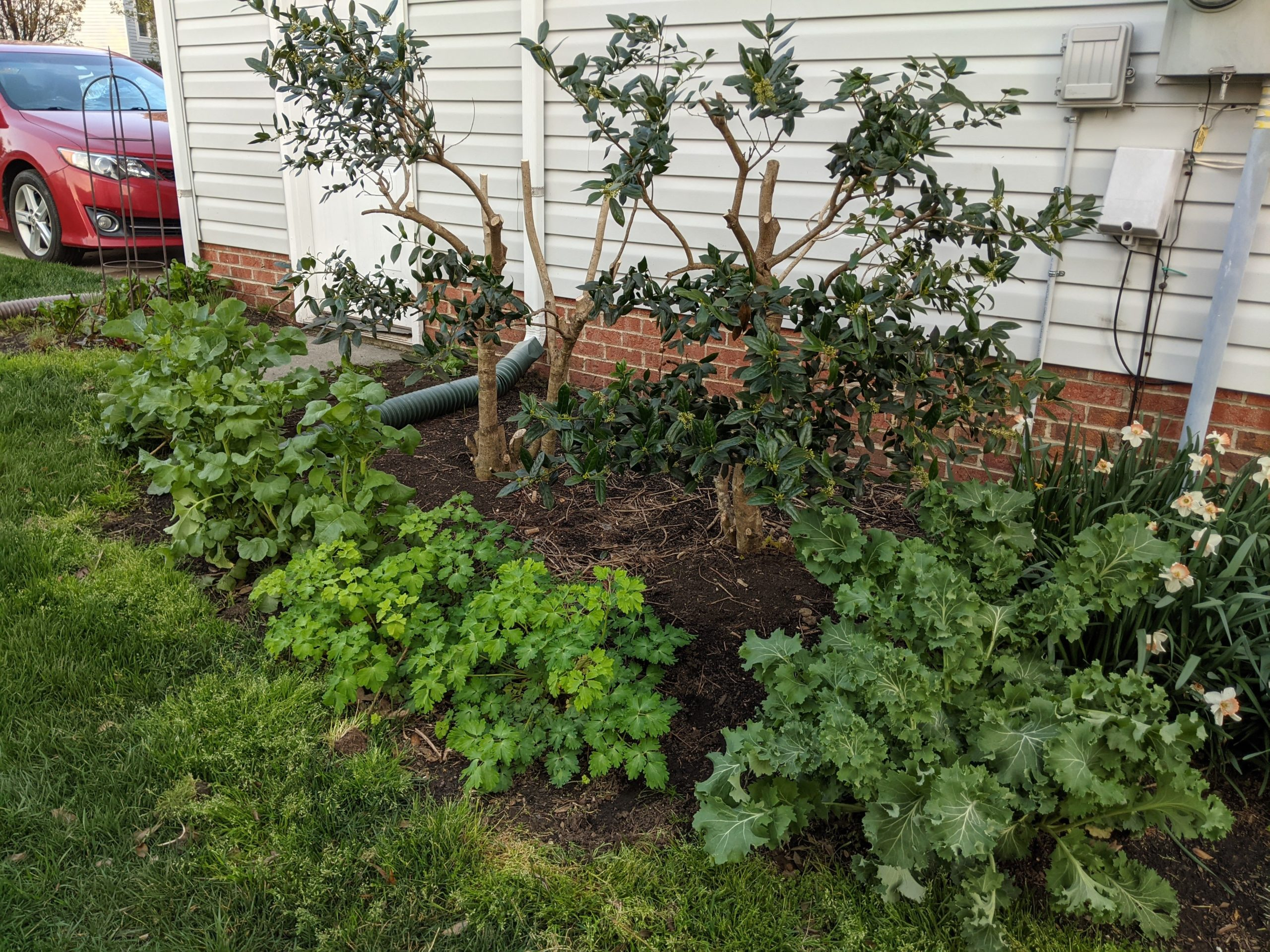 Did some heavy pruning of our holly bushes (I know, it looks really awful right now, but the plant was extremely unhealthy from years of using electric hedge shears). Around front are rutabagas, radishes, columbine, and kale I planted last fall.