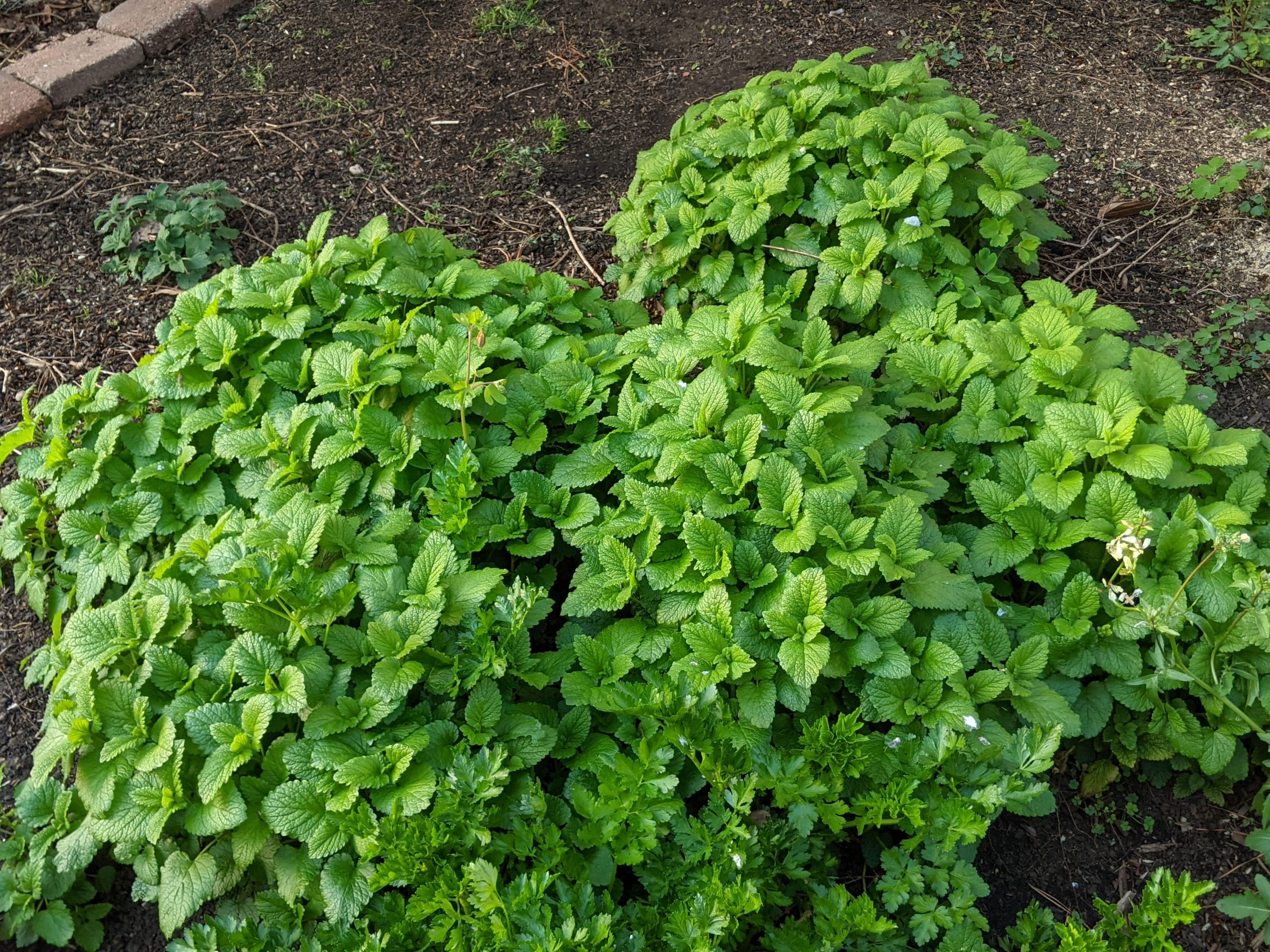 Another relative of mint, lemon balm is really filling in, maybe too much so. Some parsley is mixed in near the bottom, too, which is handy to have. No more wasted, wilty bunches from the grocery store!