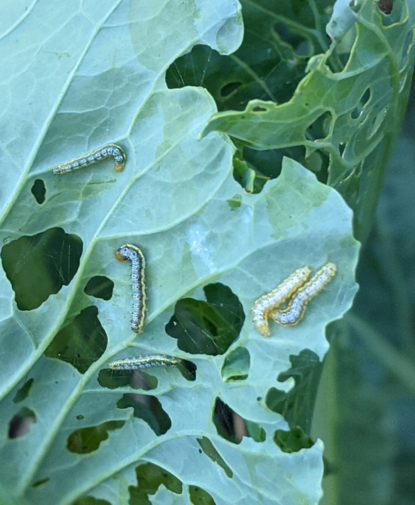 Cabbage white caterpillars eating broccoli leaves