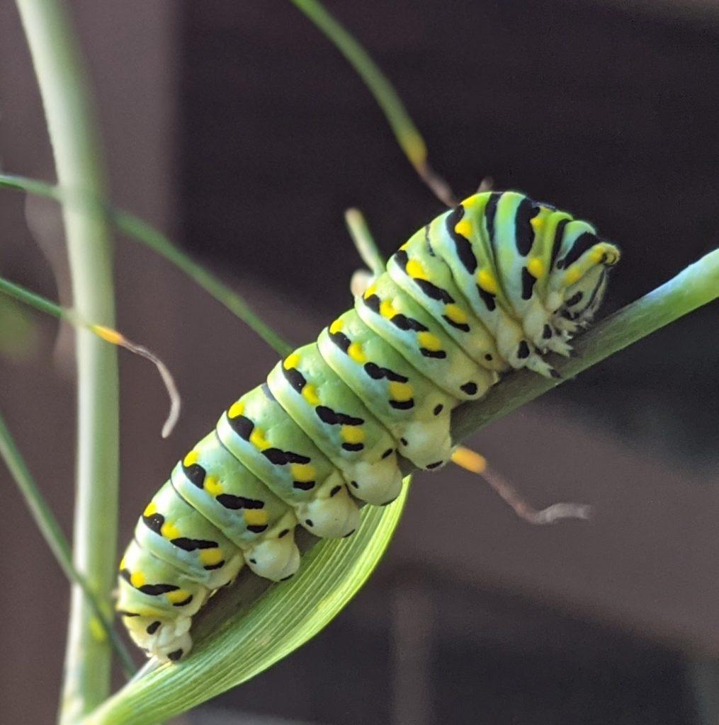 Swallowtail caterpillar on Bronze Fennel